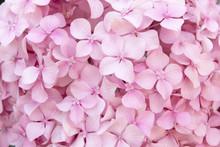 Pink Flower Texture Of Hydrangea