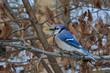 Blue jay perched on a branch with brown leaves