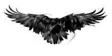 Drawn Flying Crow On White Bac...