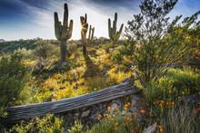 Desert Wildflowers And Saguaro Cacti In Arizona At Sunset