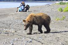 Brown Bear AKA Grizzly On Lake...