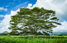 Cattle Relaxing Under A Koa Tree On A Ranch In Beautiful  Kauai Hawaii