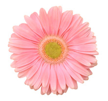 Pink Gerbera Flower. Isolated ...