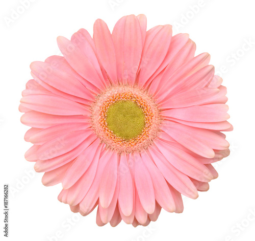 Tuinposter Gerbera Pink gerbera flower. Isolated on white background