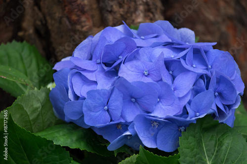 Staande foto Hydrangea Spring scenes of blue and purple hydrangea blooming flowers in the garden with abstract green soft nature background and wallpaper
