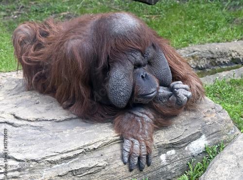 Photo Bornean orangutan. Latin name - Pongo pygmaeus abelii