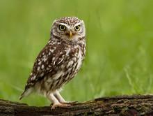 Little Owl (Athene Noctua) Per...