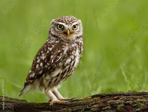 Little Owl (Athene noctua) perched on a tree.