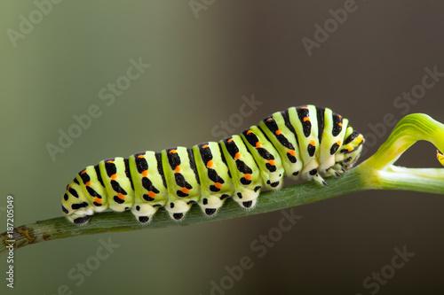Fotografía  green caterpillar machaon on dill