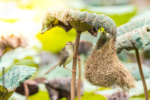 Fotografie, Obraz  Bird (Plain Prinia) build bird nest in the nature