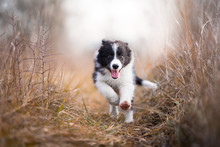 Running Border Collie Puppy In...