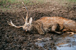 Deer resting and sleeping in mud. Expressive portrait of dead wild animal lying in dirt and puddle. Mammal furry horned male creature dying at wild nature in sludge. Sick poor helpless fawn suffering.