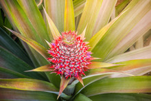 A Baby Red Pineapple In Garden