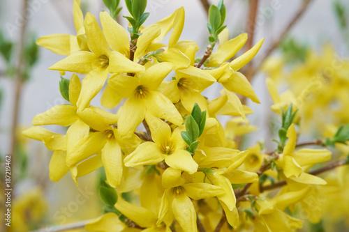 Fotomural Flower of Forsythia