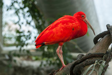 Scarlet Ibis At The National A...