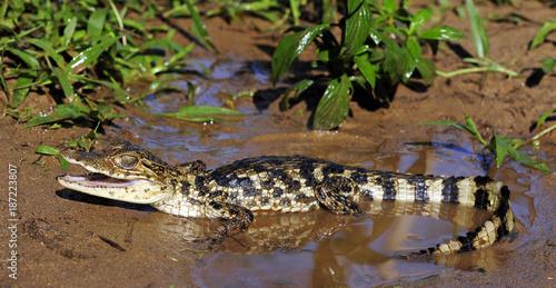 Krokodilkaiman / Nördliche Brillenkaiman (Caiman crocodilus) - Spectacled caiman