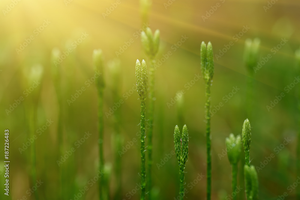 Fototapety, obrazy: Blooming stagshorn clubmoss, Lycopodium clavatum growing in the green spring forest, botanical natural background