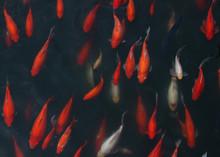 Goldfish Background