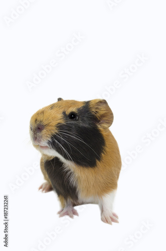 Photo  Image of a cute Guinea pig with a white isolated background.