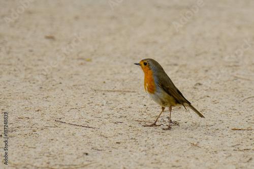Staande foto Vogel Le rouge-gorge familier par terre.