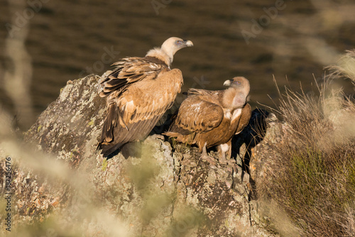 Garden Poster Horses Griffon vulture Gyps fulvus in Extremadura