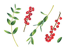 Eucalyptus And Ilex Branches. Red Winterberry. Watercolor Illustration Isolated On White.