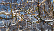 Maple Tree Buds Covered In Ici...