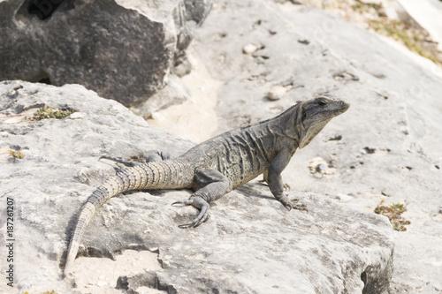 Wild iguanas in Tulum
