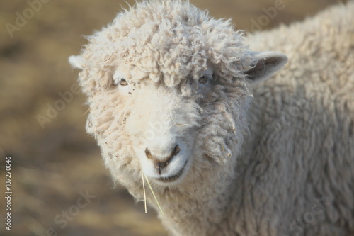 食事中の羊 Fototapete