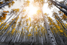 Sunlight Shines Through The Canopy Of Golden Yellow Aspen Tree Leaves In A Thick Forest In The Colorado Rocky Mountains