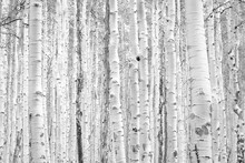 Black And White Aspen Trees Ma...