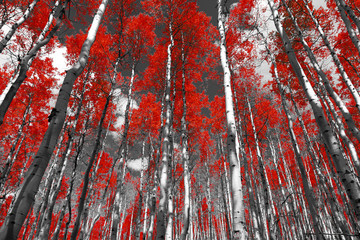 Fototapeta Las Red forest of fall aspen trees in a black and white Colorado Rocky Mountain landscape