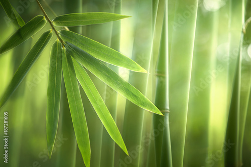 Foto op Plexiglas Bamboe Bamboo forest in the morning,natural background