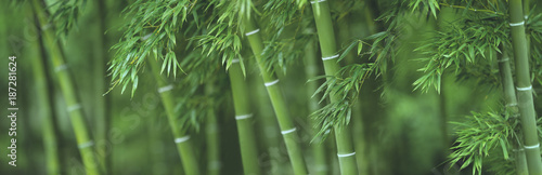 Photo sur Toile Bamboo Bamboo forest