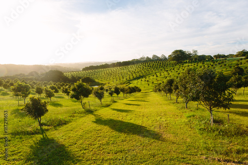 Foto Macadamia orchard  at Byron Bay, Bangalow, NSW, Australia