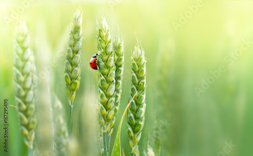Photo  Juicy fresh ears of young green wheat and ladybug on nature in spring summer field close-up of macro with free space for text