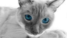 Blue Eyes Cat, Cute Pets In Bl...