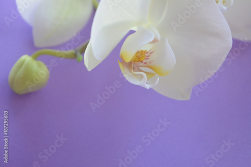 Spoed Foto op Canvas Iris beautiful tender romantic composition: white flower and bud of orchids on a light lilac background, postcard, congratulation