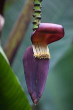 Banana Blossom,edible Inflorescence