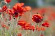 Poppies in poppy field