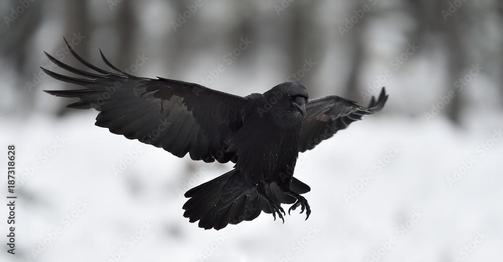 Raven (Corvus corax) in flight. Landing. Black bird in flight. Snow. Winter. Bird. Flying.