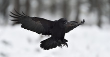 Raven (Corvus Corax) In Flight...
