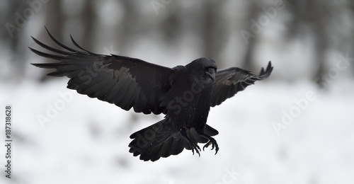 Raven (Corvus corax) in flight. Landing. Black bird in flight. Snow. Winter. Bird. Flying.