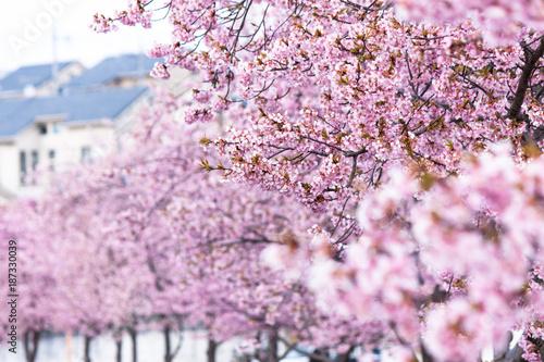 Tuinposter Lichtroze 河津桜