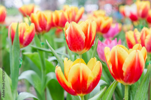 Beautiful Tulip Flower And Green Leaf Background In Tulip Garden At