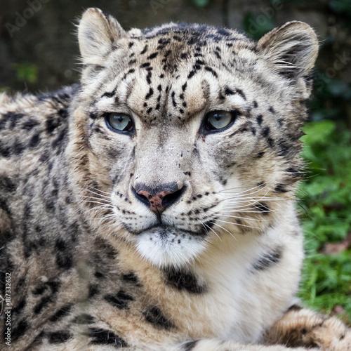 Plakat Adulyt snow leopard portrait