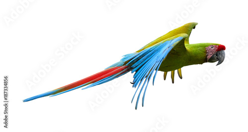 Isolated on white background, Great green macaw, Ara ambiguus, also known as Buffon's macaw. Green-yellow, wild, endangered tropical american parrot, flying with outstretched wings.