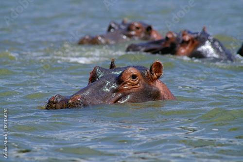 Hippopotame au lac Elementaita