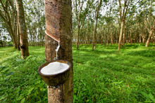 Rubber Tree And Bowl Filled Wi...