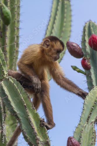 Capuchin Monkey in Serra da Capivara, PI, Brazil Fototapeta
